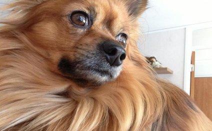 Chihuahua/Papillon/Tibetan