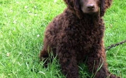 American Water Spaniel Dogs