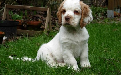 Clumber Spaniel Puppies:
