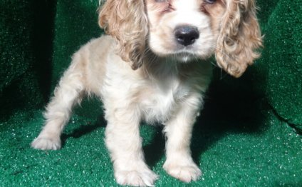 Cocker Spaniel #5586 puppy for