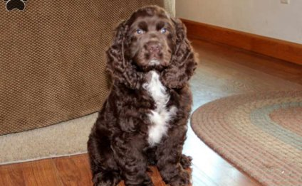 Cocker Spaniel Puppies For