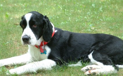 English Springer Spaniel Dog: