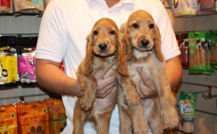 English Water Spaniel Puppies:
