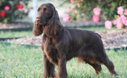Download 22 Field Spaniel