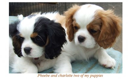 Find Cavalier King Charles