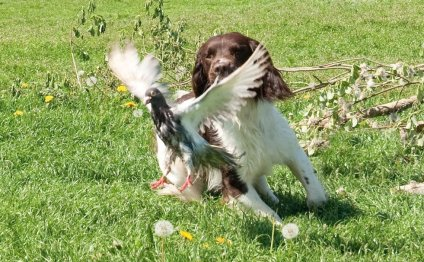 Our working spaniels