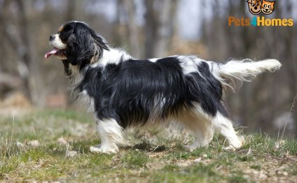 King Charles Spaniel Dog Breed