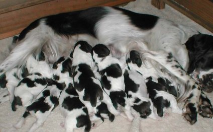 Springer Spaniel puppies for