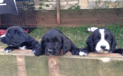 Sprocker Spaniel Pups For Sale