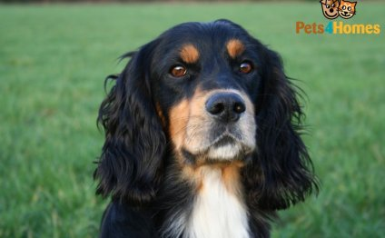 Tri-colour Cocker Spaniel Stud