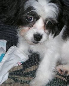 5 month old Cava-Tzu puppy (Cavalier King Charles Spaniel / Shih-Tzu mix)