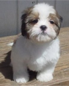 9 week old Cava-Tzu puppy (Cavalier King Charles Spaniel / Shih-Tzu mix)