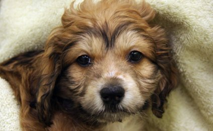 English Cocker Spaniel puppies for Adoption