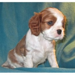 AKC Cavalier King Charles Spaniel Blenheim Male Puppy