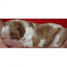 AKC Champion Line Blenheim & Tri Cavalier King Charles Puppies Available