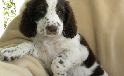 English Springer Spaniel Forums