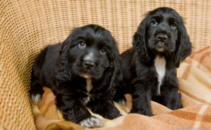 Black Cocker Spaniel puppies
