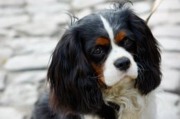 Best Dog Food For Cavalier King Charles Spaniel