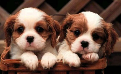 Cavalier King Charles Spaniel information