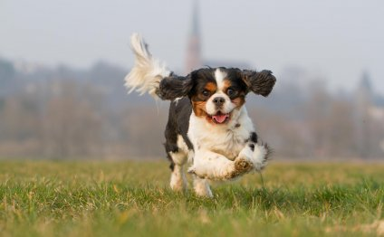 Pics of King Charles Spaniels