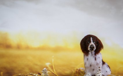 Miniature English Springer Spaniel