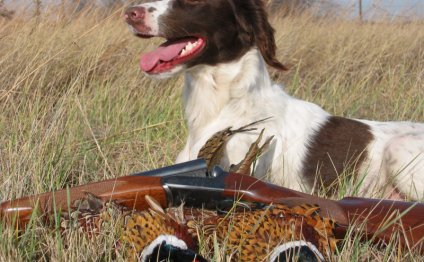 English Springer Spaniel Stud service