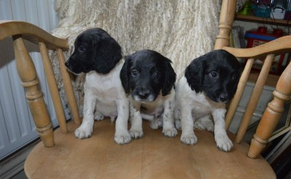 Springer Spaniel puppies for sale in Cornwall