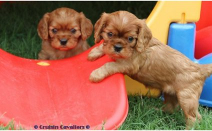 Cavalier King Charles Spaniel puppy training
