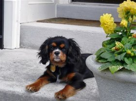 Guiness is a Black and Tan Cavalier.