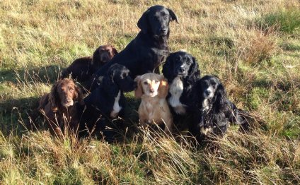 Springer Spaniel gun dog puppies