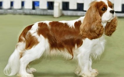 Cavalier King Charles Spaniel toy