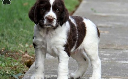 Miniature Springer Spaniel puppies for sale