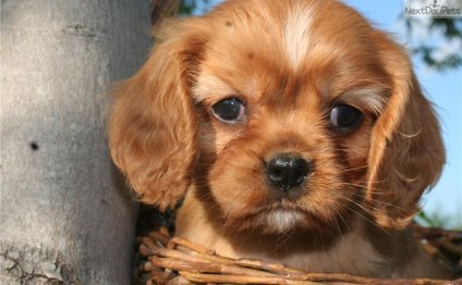 Cavalier King Charles Spaniel puppies for free