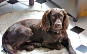 Brown working Cocker Spaniel