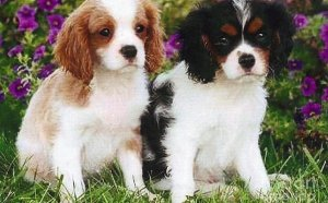 Cavalier King Charles Spaniel Rescue Puppies
