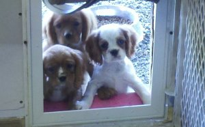 Cavaliers King Charles Spaniels for Sale