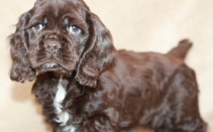 Champion Cocker Spaniel puppies for sale