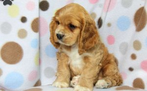 Cocker Spaniel cross breeds for sale