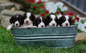 English Springer Spaniel Breeders Ohio