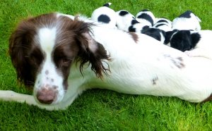 English Springer Spaniel Rescue California