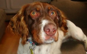 Free Brittany Spaniel puppies