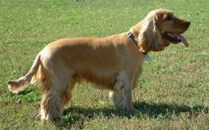 Golden American Cocker Spaniel