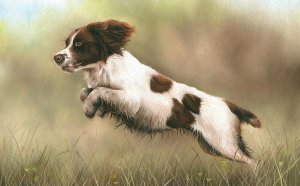 Irish Springer Spaniel puppies