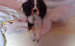 King Charles Spaniel Pictures puppies