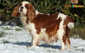 Pics of King Charles Spaniel puppies