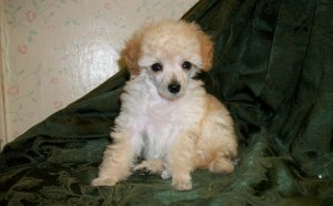 Toy Cavalier King Charles Spaniel for sale