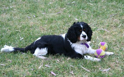 King Charles Spaniel Rehoming