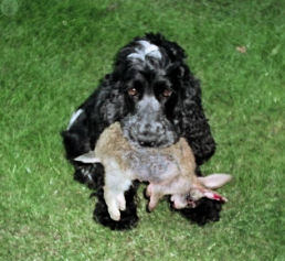 Show Type Cocker carrying a Rabbit
