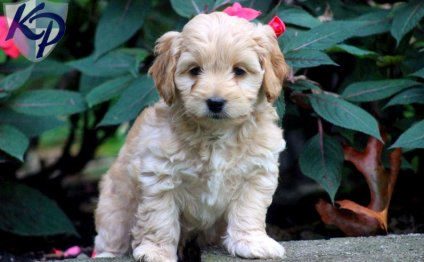 Cocker Spaniel and Poodle mix for sale