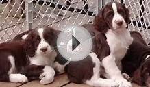 60 Seconds Of Cute English Springer Spaniel Puppies!